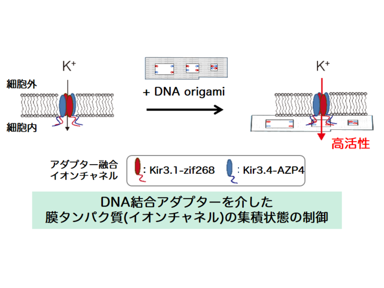 11.DNA Origami Scaffolds as Templates.pngのサムネイル画像